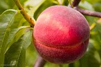 Peach-Tree-Mature-RAREC
