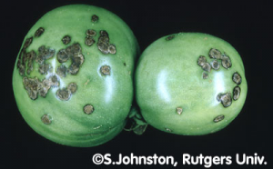Bacterial Canker on Tomato