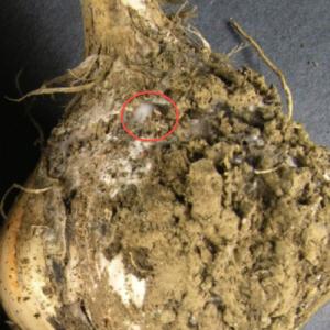Garlic White Rot. Photo by Bruce Watt, U Maine