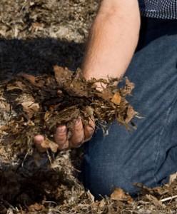 Un-composted Municipal Leaves Improve Soils