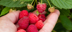 Farm Calls: Which fruit crops are best suited for Pick-Your-Own?