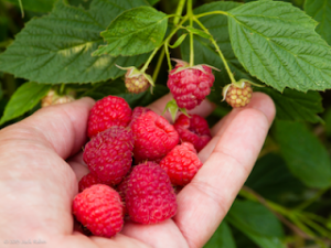 Raspberries are a good option for PYO