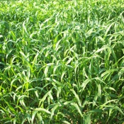 SorghumSudangrass_2