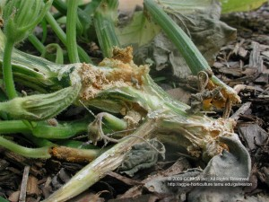Squash Vine Borrer Injury