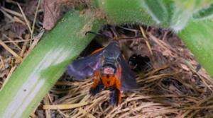 Squash Vine Borer Adult Moth (R. Bessin)