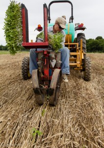 Transplanting-Tomato-RJPlanter-Thru-Cover-Crop-1-2012