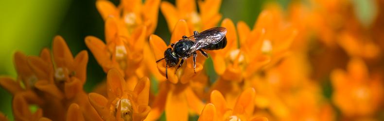 ButterflyWeed-Native-Polllinators-8