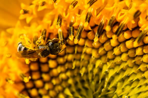 Sunflower-Native-Pollinators-136