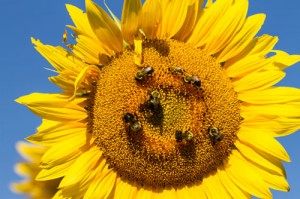 Sunflower-Native-Pollinators-67