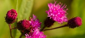 Broadleaf Ironweed