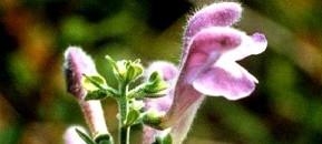 Helmet Flower