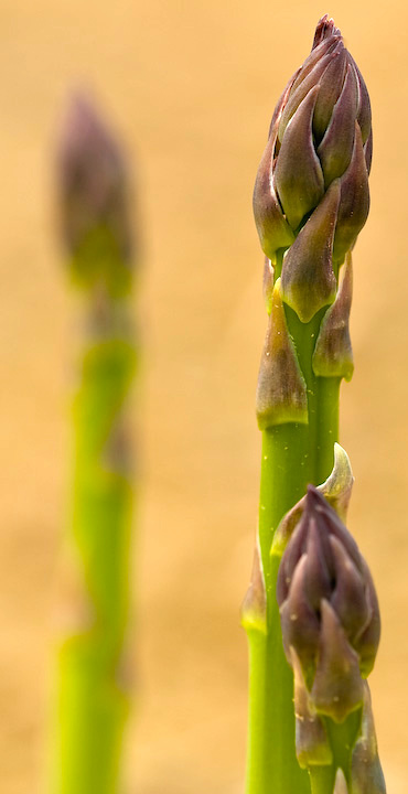 Asparagus spears emerging in a field of Rutgers NJAES all-male hybrid asparagus