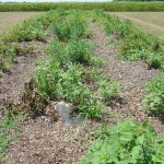 Organic-Leaf-Mulch-BlackPoly-Early-August