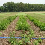 Organic-Leaf-Mulch-BlackPoly-Late-June