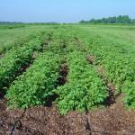 Organic-Leaf-Mulch-Early-July