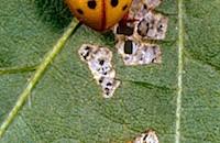 Farm Calls: Biocontrol of Mexican Bean Beetle