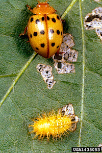 Mexican Bean Beetle: Adult and Larva