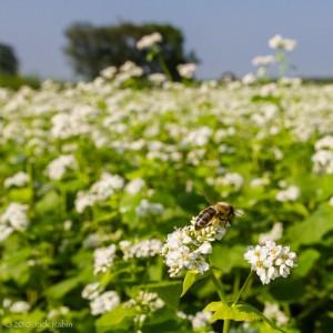 Buckwheat_Pollinator_18