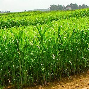 Sorghum-Sudangrass