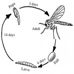 Fungus gnat life cycle.