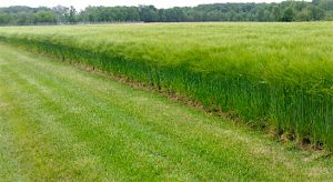 Winter Malting Barley