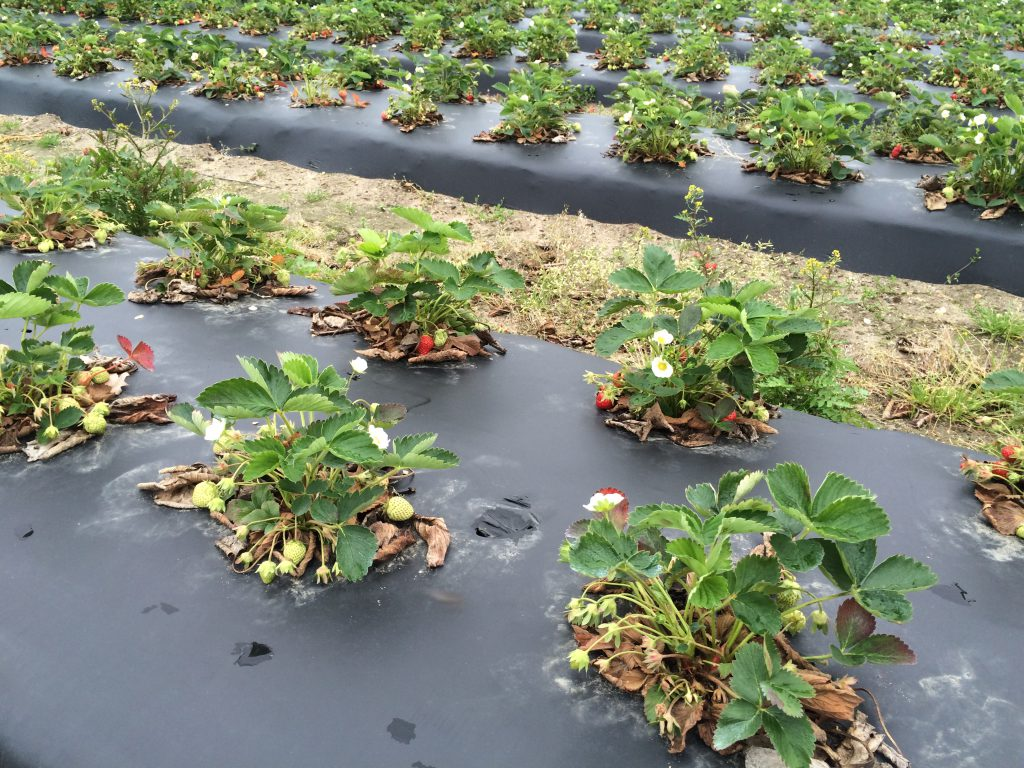 Plant growth differences in a strawberry field.