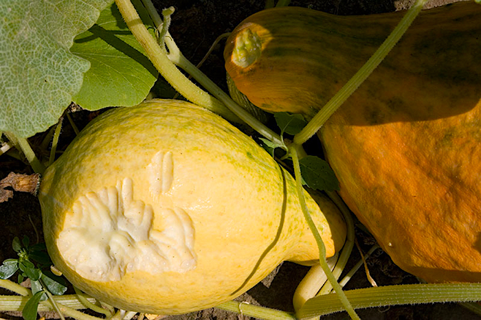 White-tailed deer feeding on squash resulted in 100% crop loss.